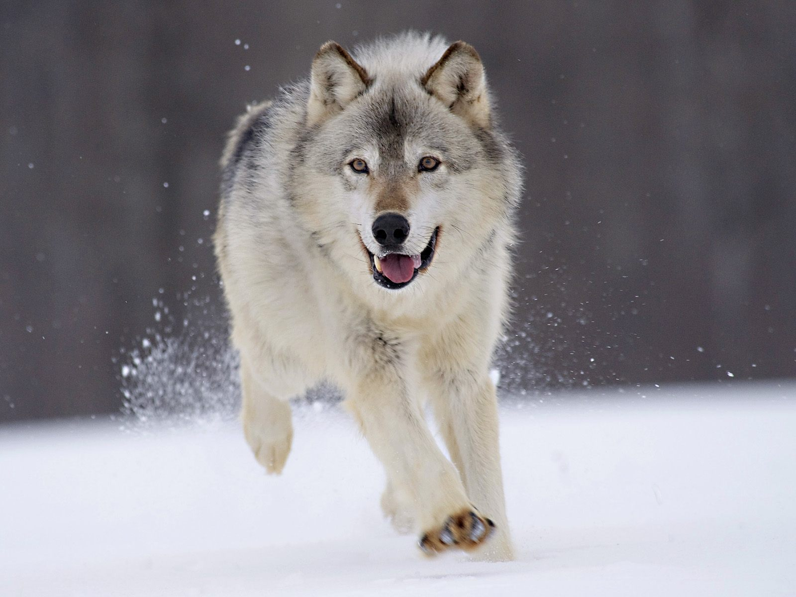 wolf pictures A9