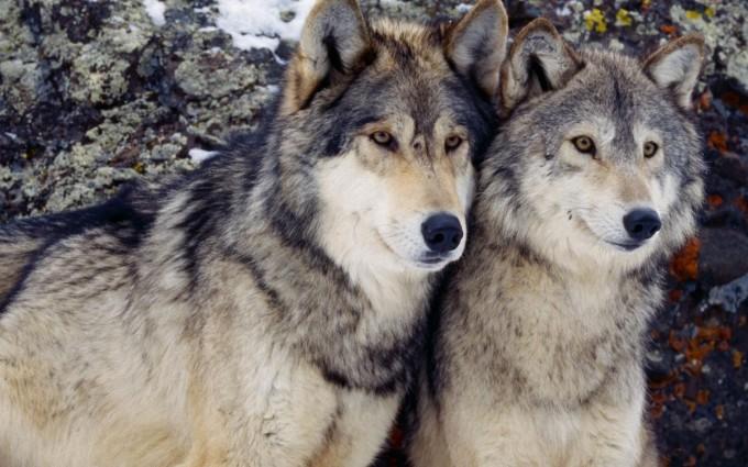 wolf wallpaper A1
