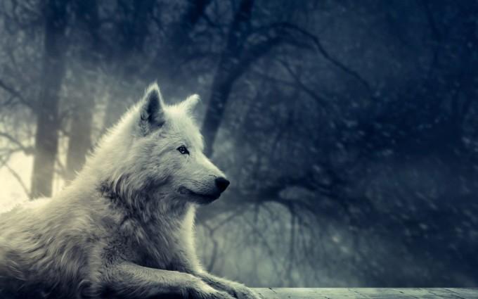 wolf wallpaper A10