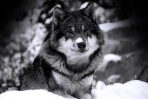 wolf wallpaper A11