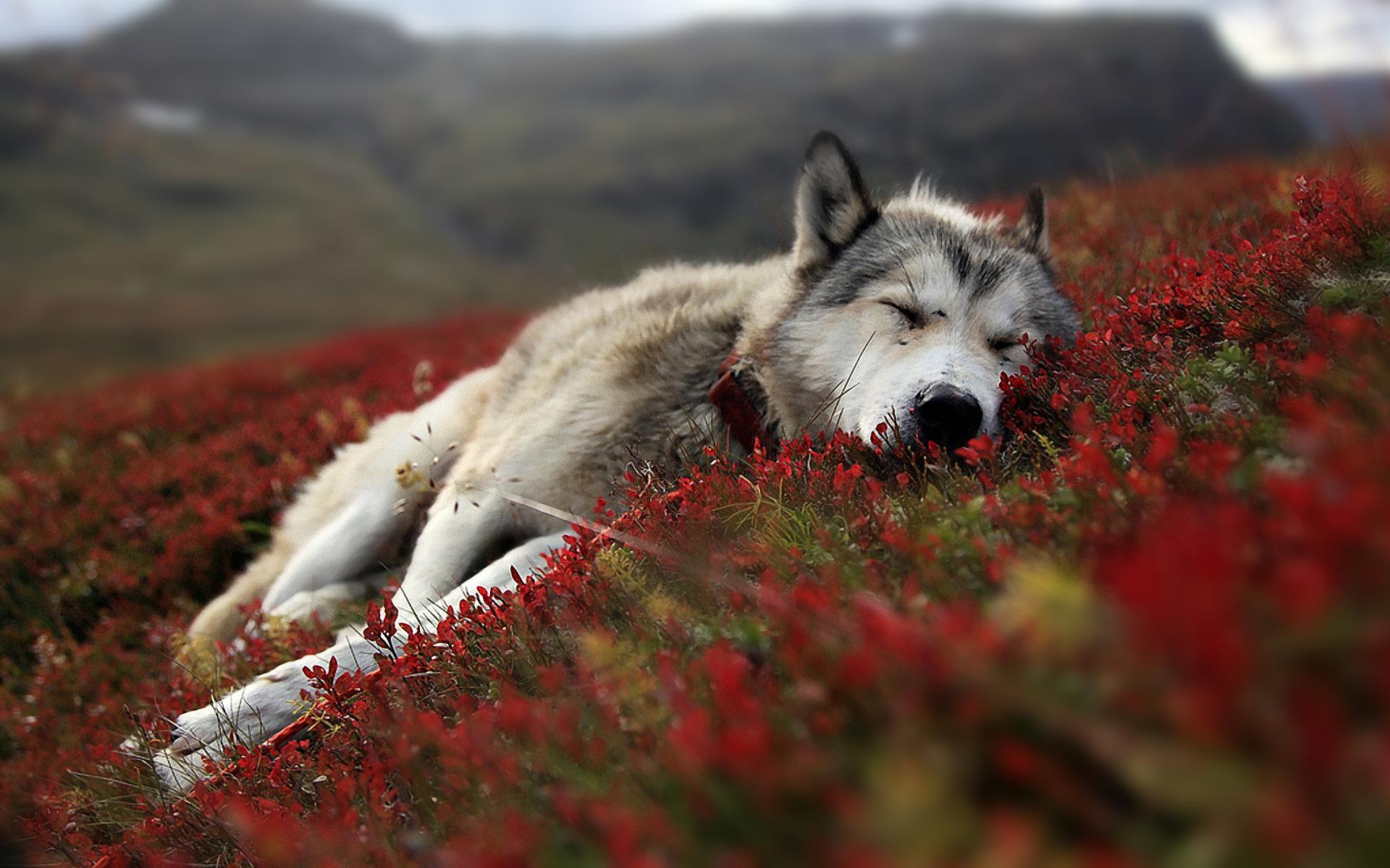 wolf wallpaper A12