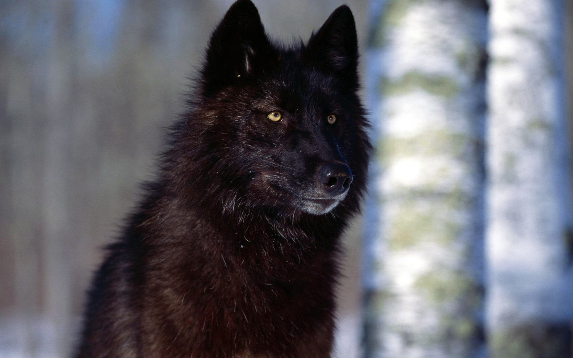 wolf wallpaper A13