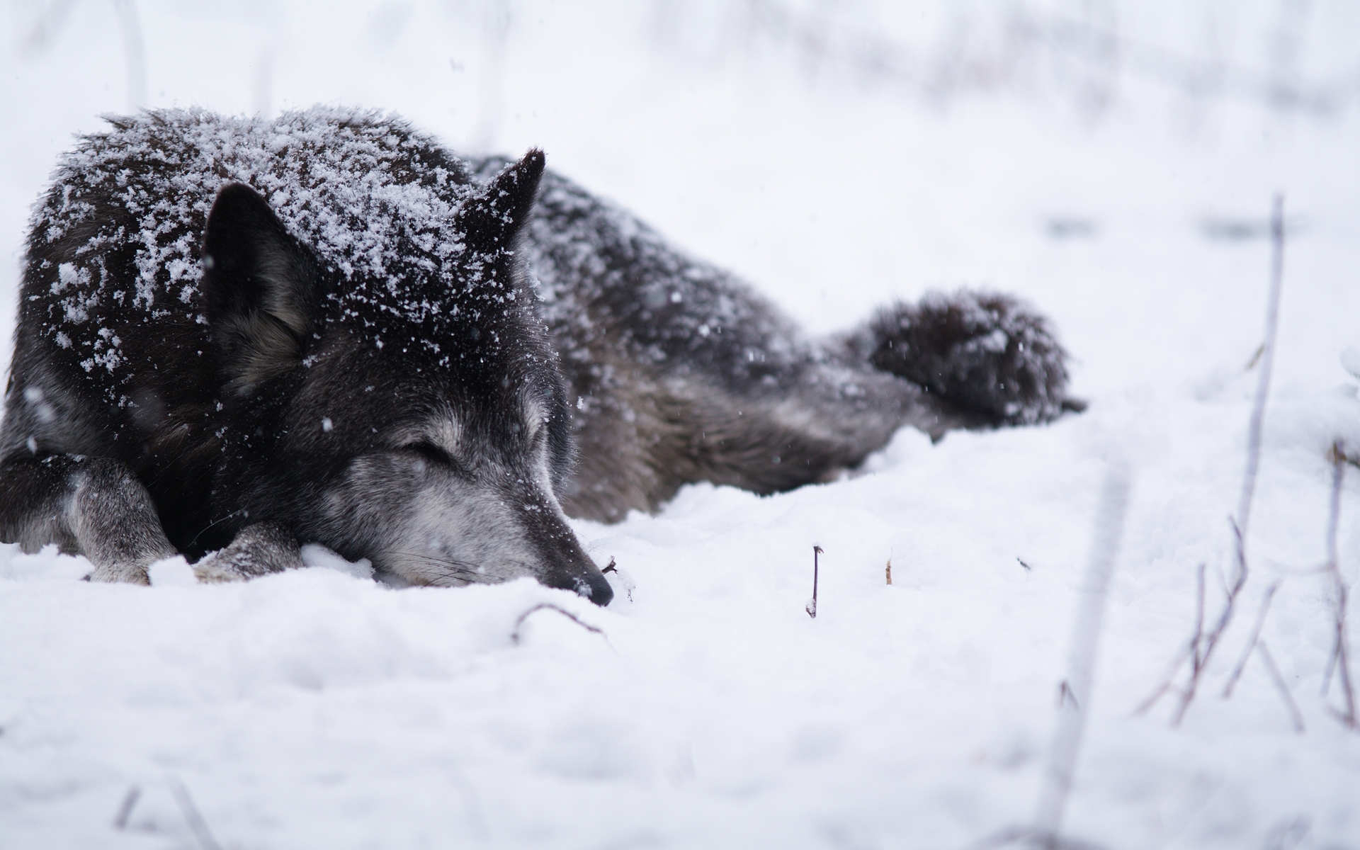 wolf wallpaper A14