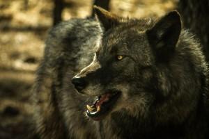 wolf wallpaper A15