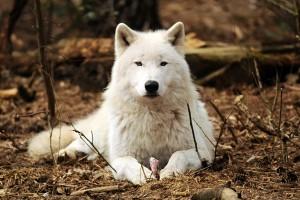 wolf wallpaper A17