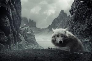 wolf wallpaper A2