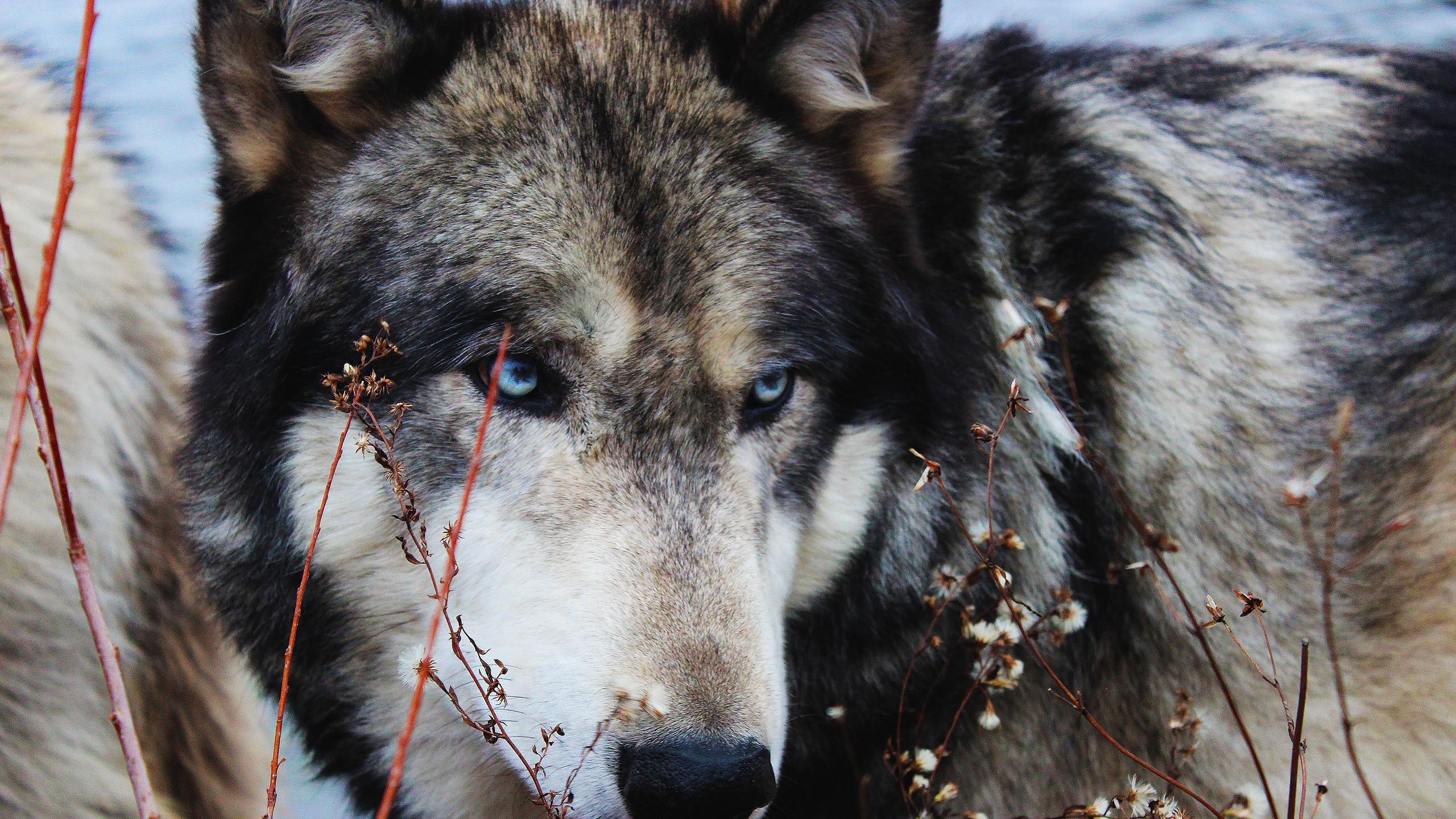 wolf wallpaper A3