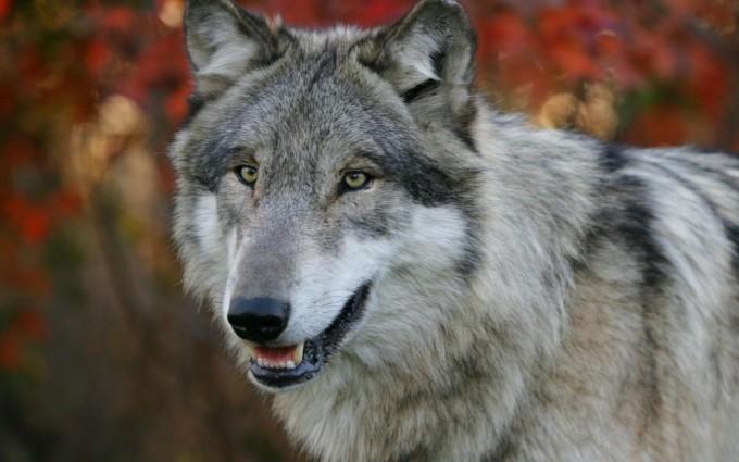 900x480 wolf wallpaper