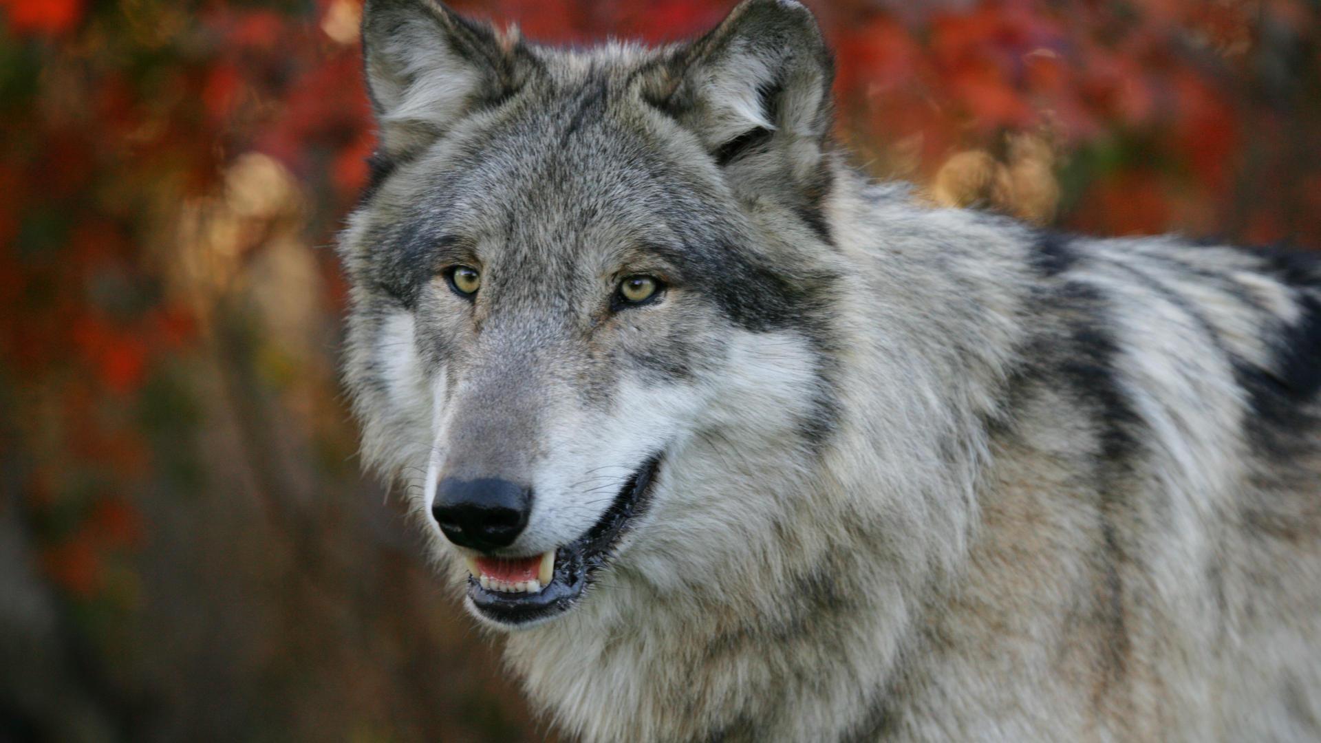 wolf wallpaper A4