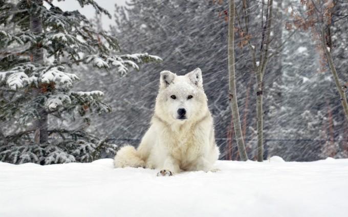 wolf wallpaper A6