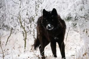 wolf wallpaper A7