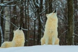 wolves wallpaper white