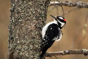 woodpecker background