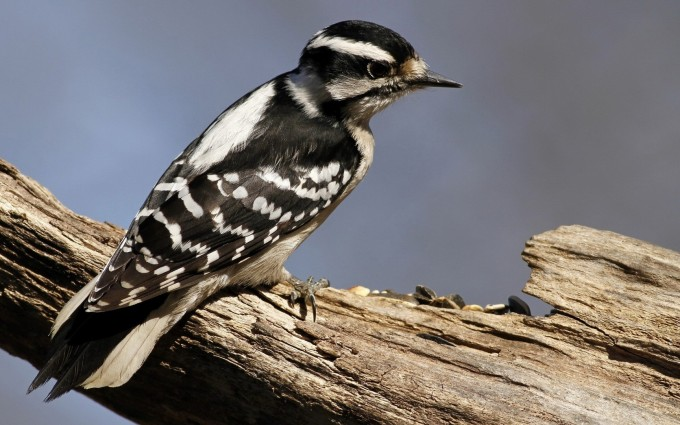 woodpecker wallpaper download
