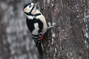 woodpecker wallpaper hd