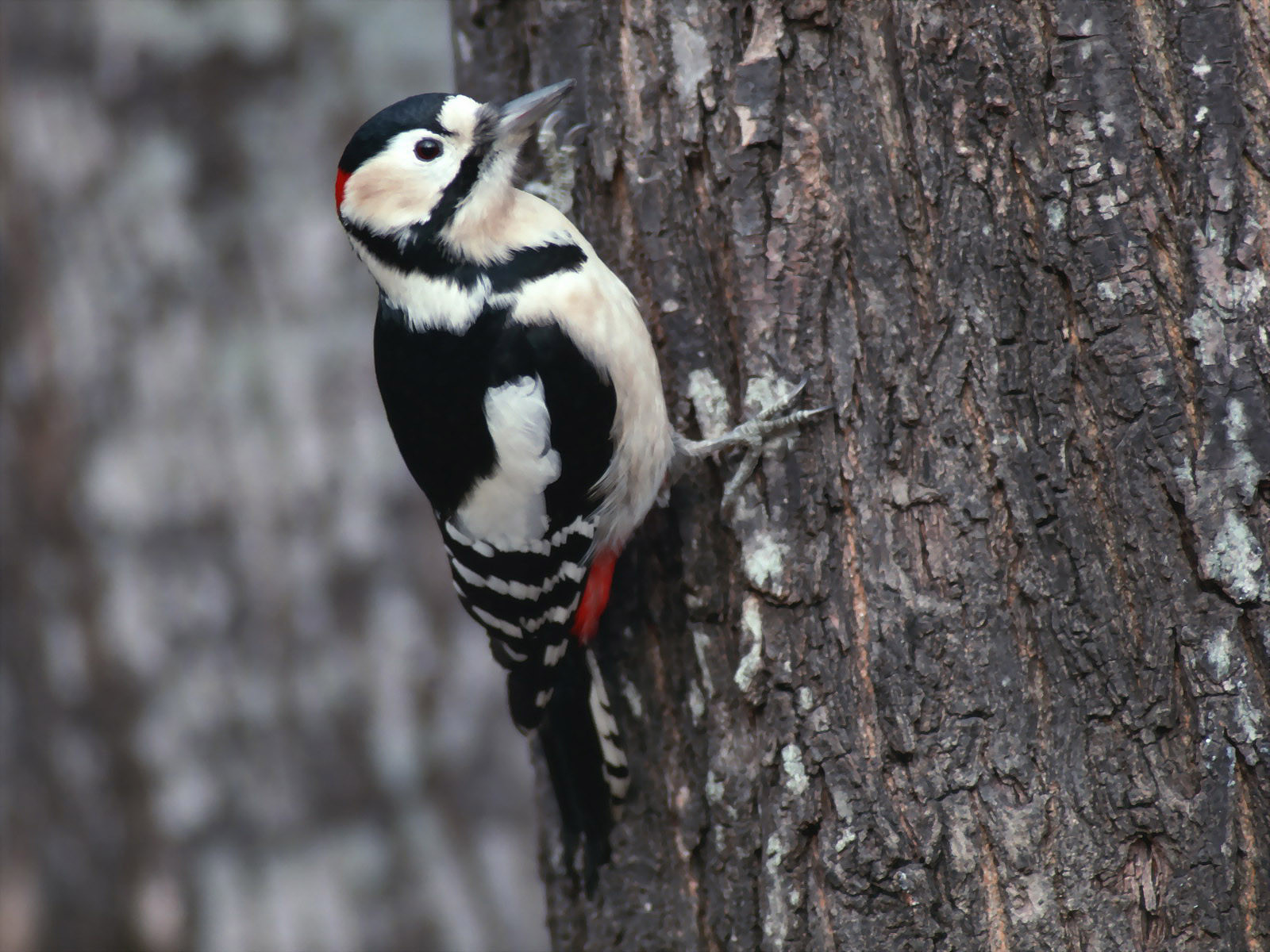 woodpecker wallpaper hd