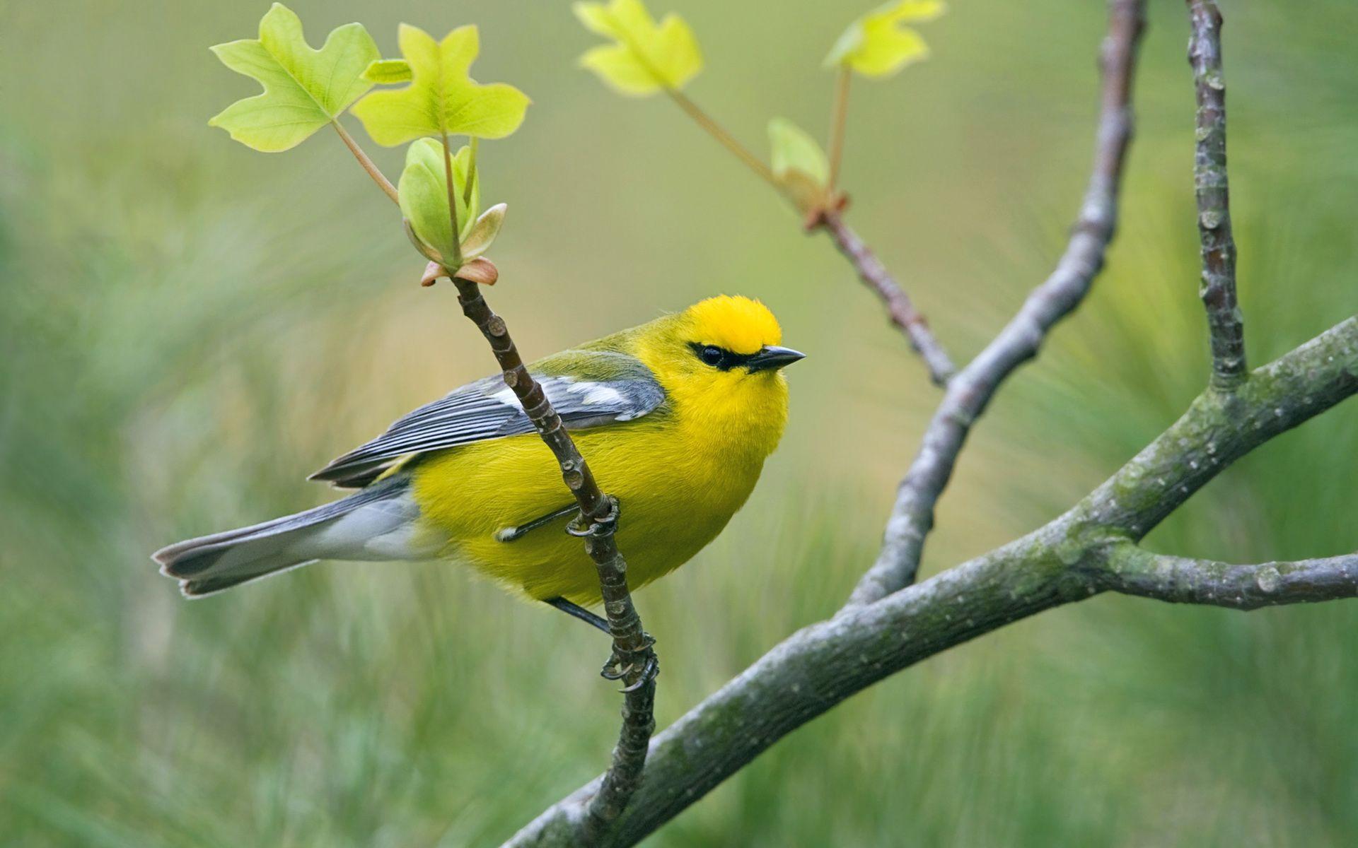 yellow bird wallpapers