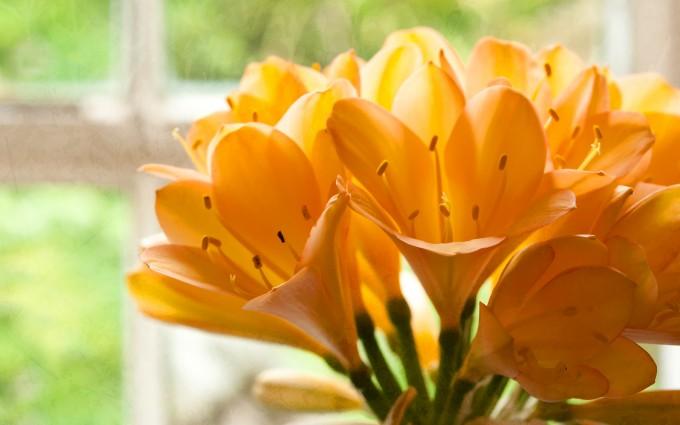 yellow clivias