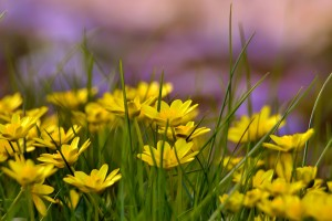 yellow flower field hd