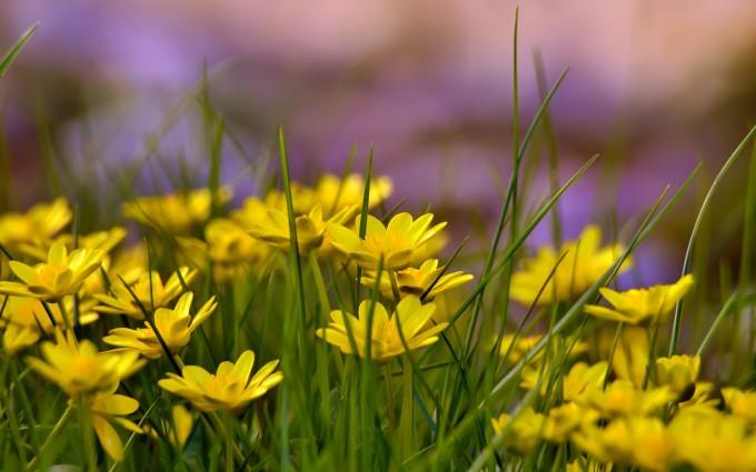 yellow flower field hd