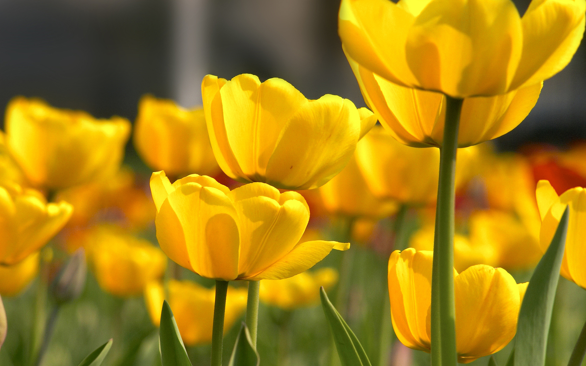 yellow flower petals