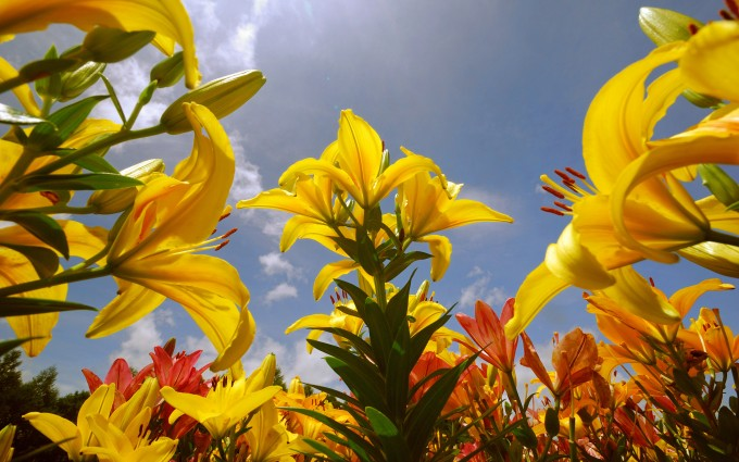 yellow lilly field