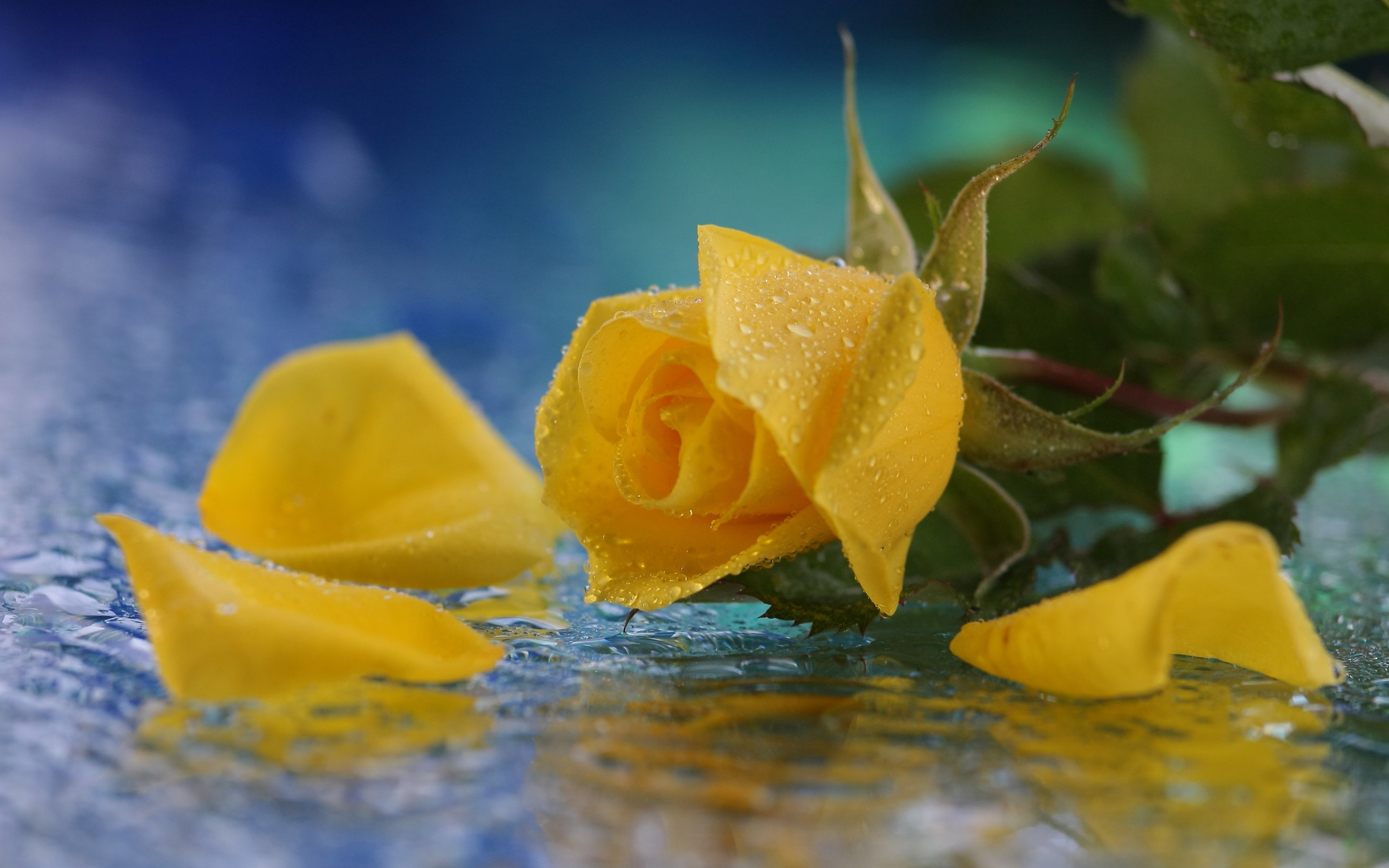 yellow rose in water
