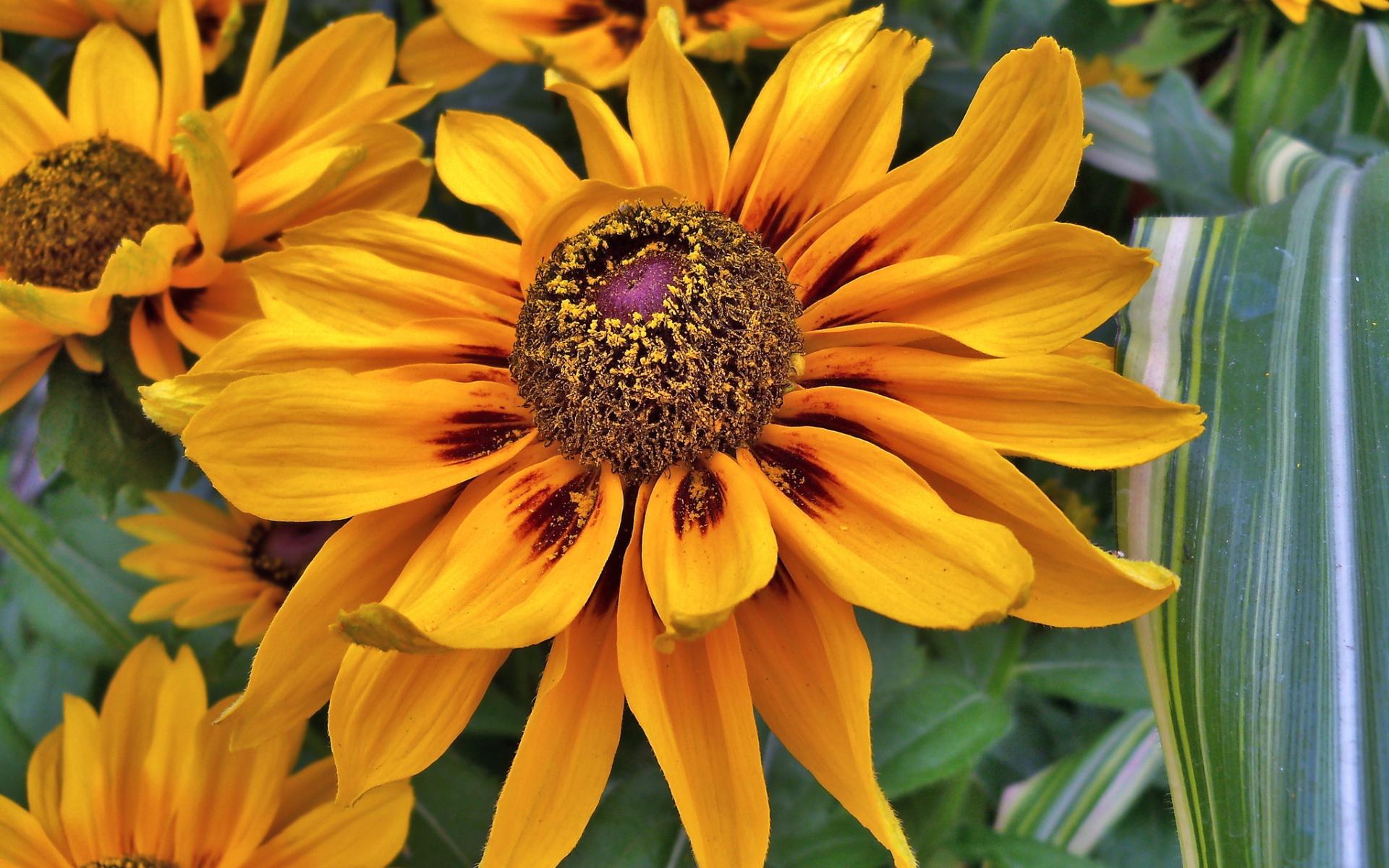 yellow susan flower