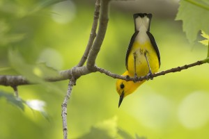 yellow wallpapers bird