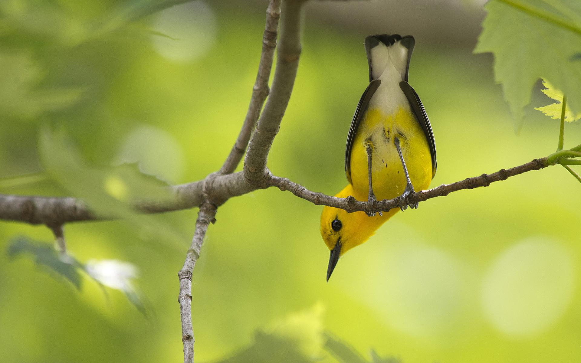 yellow wallpapers bird