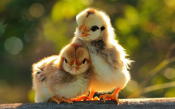 yellow wallpapers chicken