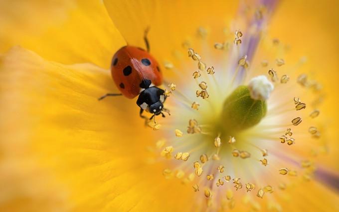 yellow wallpapers ladybug