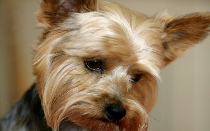 yorkie wallpaper download