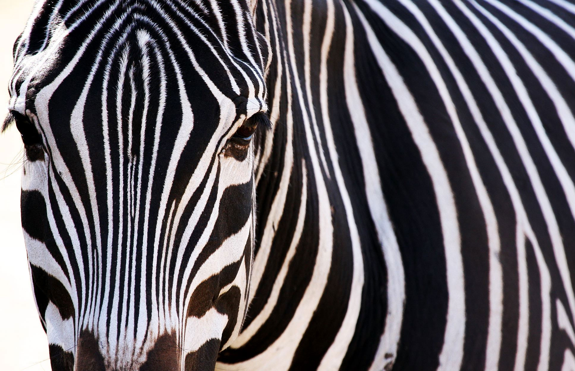 zebra 1080p