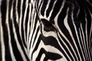 zebra image nature
