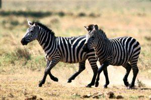 zebra images