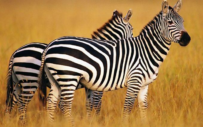 zebra images hd