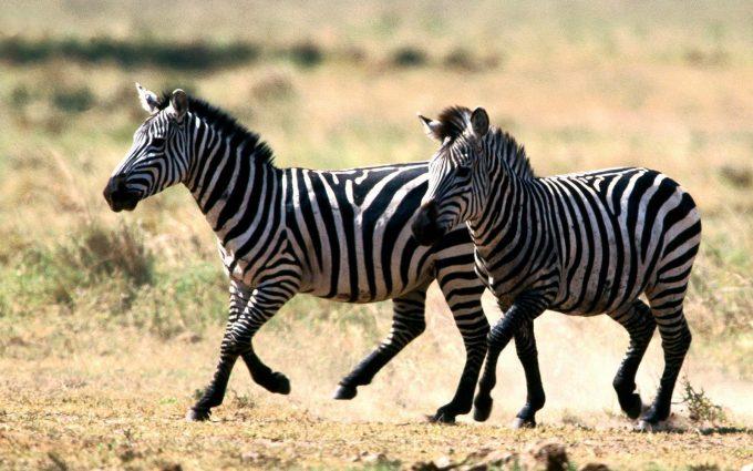 zebra picture