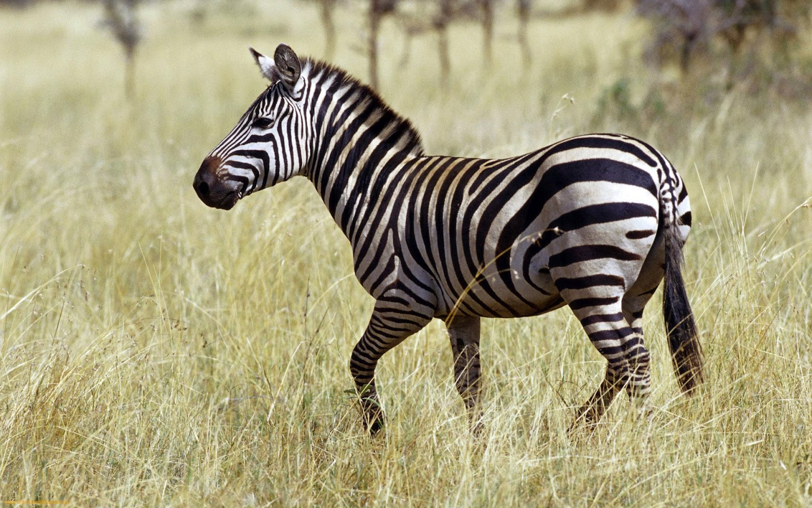 zebra picture hd