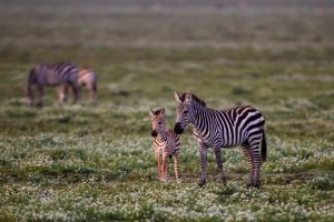 zebra pictures hd