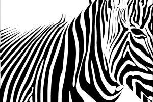 zebra wallpaper 1920x1080p