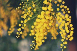 acacia flower desktop background