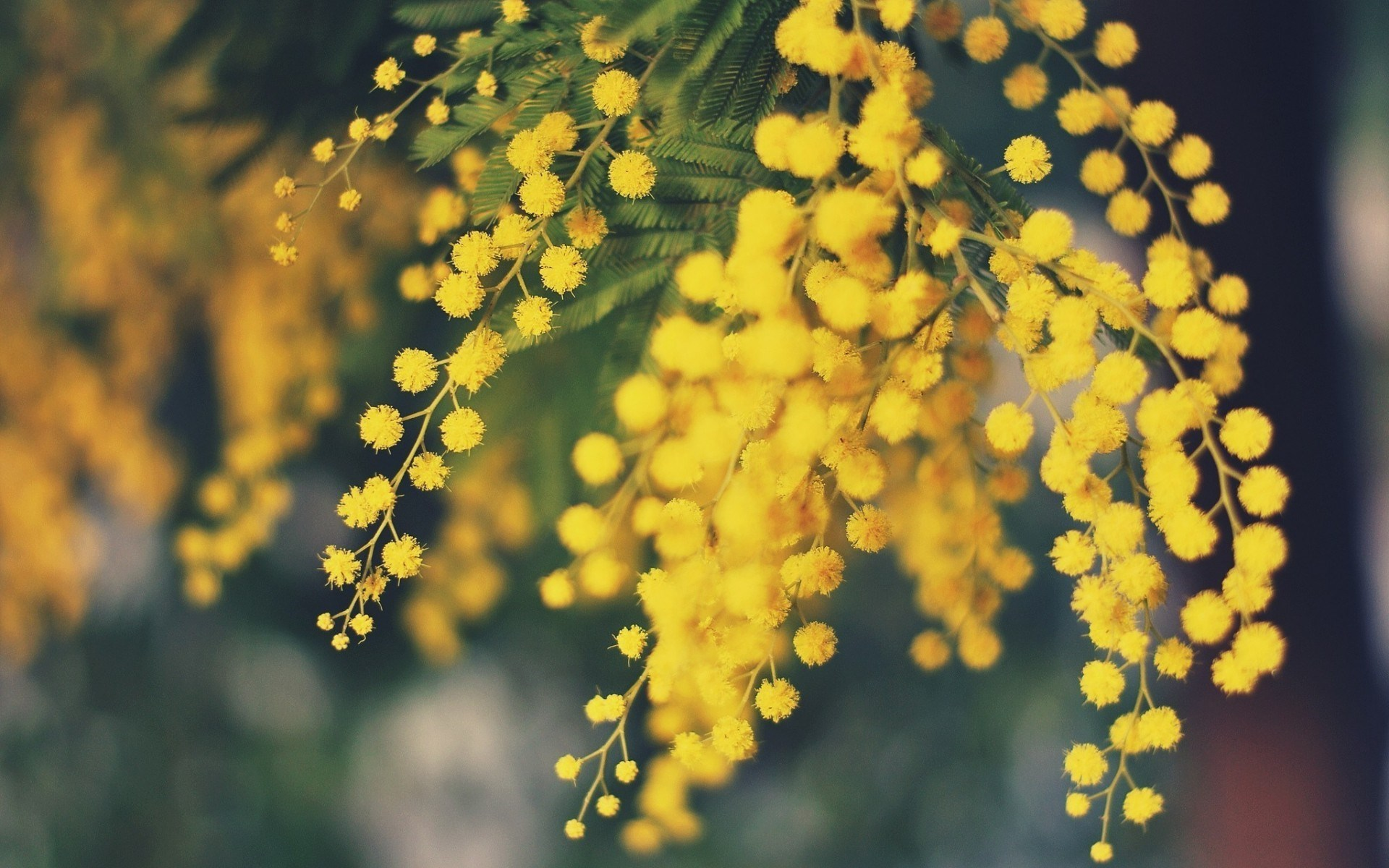 acacia flower desktop background - HD Desktop Wallpapers ...
