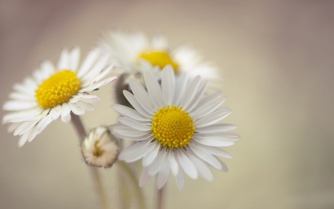WHITE HD chamomile flowers