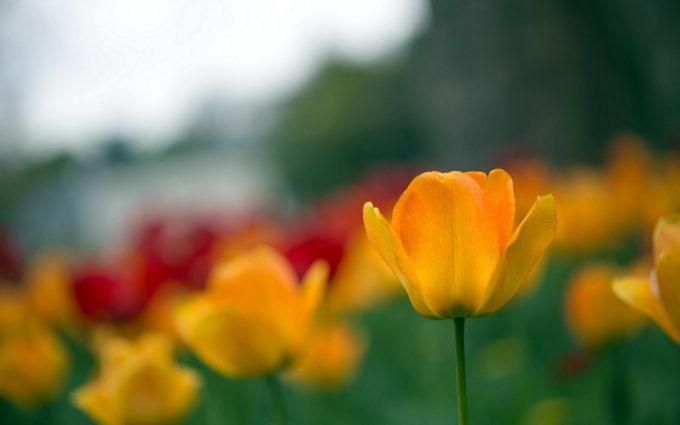 amazing flowers tulip