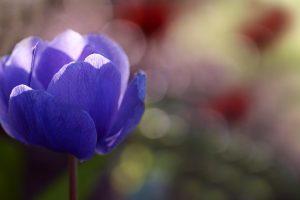 anemone beautiful flower