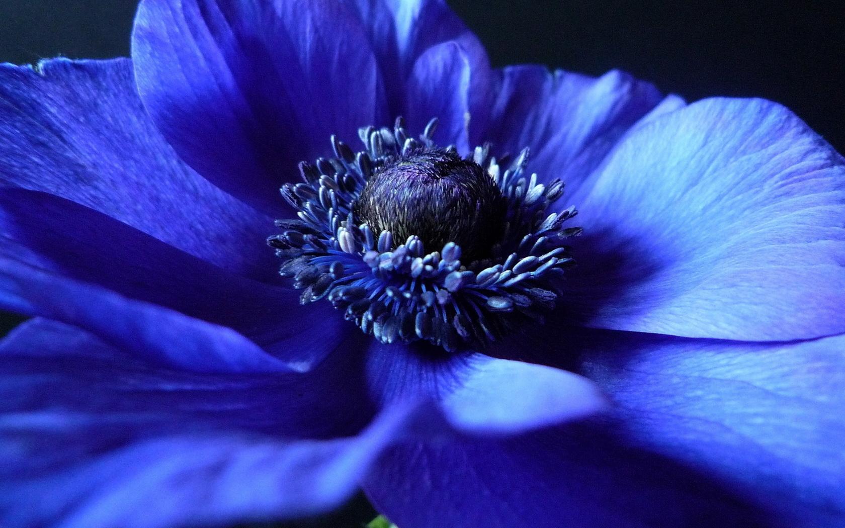 anemone flower blue