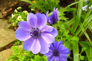anemone flower cool