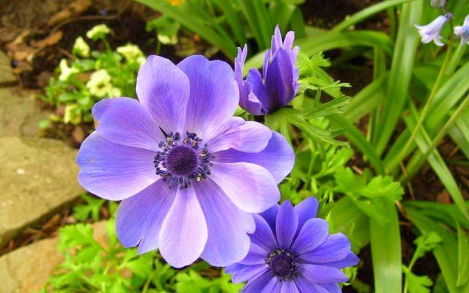 anemone flower cool