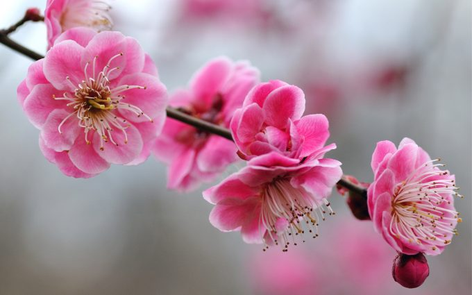 anemone flower pink